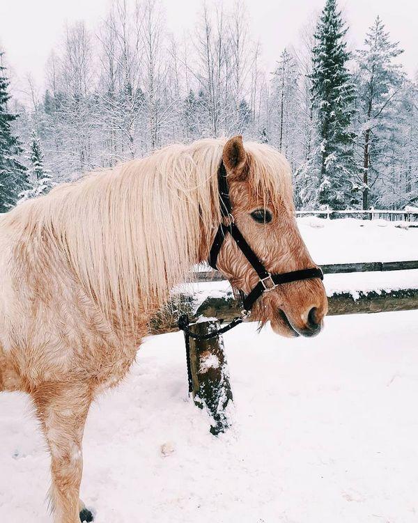 Reipasta laukkaa lumisessa metsässä tarjosi elamysmantsi ja Lilja 😊 #issikka #islanninhevonen #maastovaellus #metsä #lumi #ilomantsi