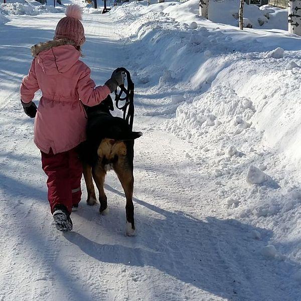 #päiväkävelyllä MiinaMainion ja LottaPotan kanssa ❤️ #daypromenade #greaterswissmountaindog #winter #northkarelia #finland #nurmes