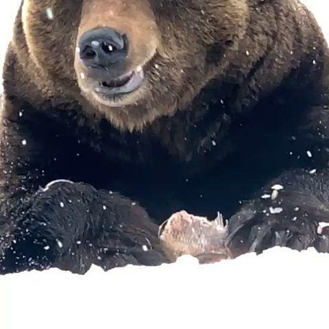 Hyvää ruokahalua! #riku#rikukarhu#karhu#kontio#bear#kiteeneläinpuisto#kiteezoo#finland#visitkitee#visitfinland#паяринхови#медведь#мишка#зоопарккитее Kuvaaja kihlatonphoto