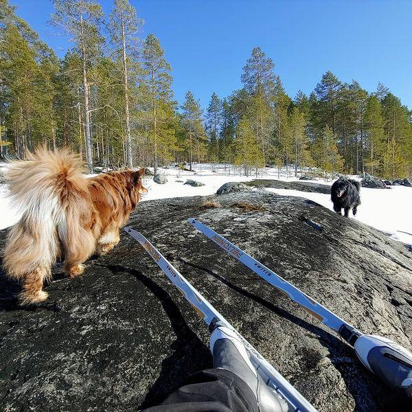 Nyt muuten porottaa siihen malliin, että taidetaan pikkuhiljaa viedä viimesiä jäähiihtelöitä. Kievarin koirillakin kunnon kevätvimma päällä.  #pielinen #skiing #jäähiihtoa ja #kevätaurinkoa #vuonislahti #lieksa