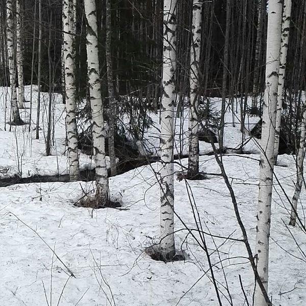 Kolilla on kevät alkanut... #koli #herajärvi #nordiclife #bliss #visitkarelia_finland #outdoors #lieksa