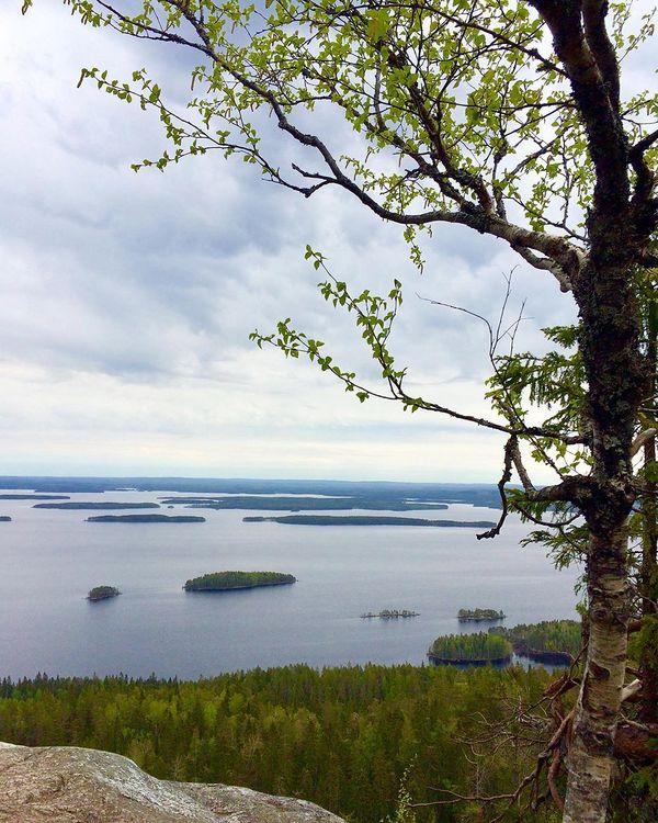 Gray weather didn't bother today, landscapes in #kolinkansallispuisto enchants again! #ig_finland #suomiretki #retkipaikka #finland_photolovers #lovelyfinland #thebestoffinland #total_finland #awesome_finland #beautyofsuomi #mtvsaa #igscglobal #ulkonaperillä #onceupon_the_earth #fotofanatics_nature_ #bns_nature #bns_finland #raw_nordic #excellent_nordic #discoveringfinland #world_bestnature #finland4seasons #luontoonfi #yleluonto #finnishparks #kotimaassa #munympäristö #visitkarelia_finland