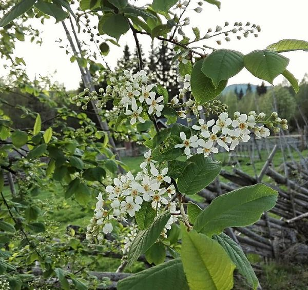 Tuomet kukkii taas Kolilla! Mahtava tuoksu, keväällä luonnosta voi todellakin nauttia kaikilla aisteilla 😊  It's the time of year when you can experience the lovely, stong scent of bird cherry trees in the lush forests and near old farm houses in Koli 😍  #feelkoli #kolinkansallispuisto #koli #kotonakolilla #tuomikukkii #kesätulee #kolinationalpark #birdcherry #summeriscoming #visitkarelia_finland #pohjoiskarjala #northkarelia #lakelandfinland #visitfinland #ourfinland