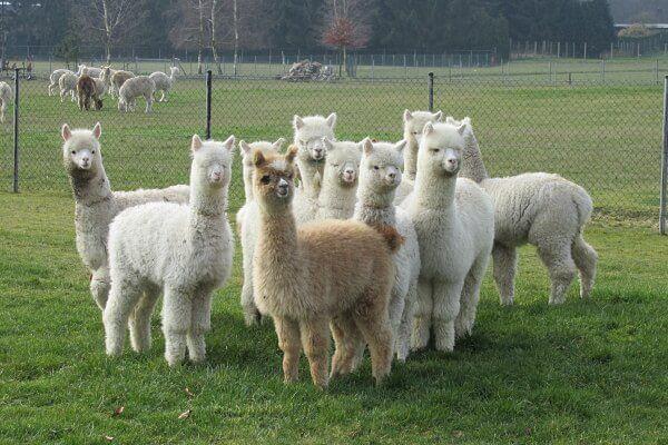 Alpacaboerderij Belgie