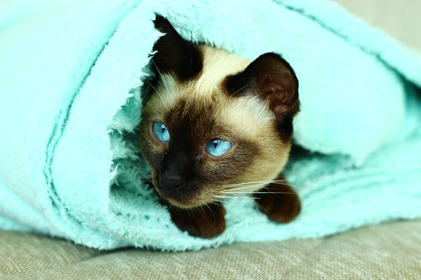 A cat wrapped in a blanket