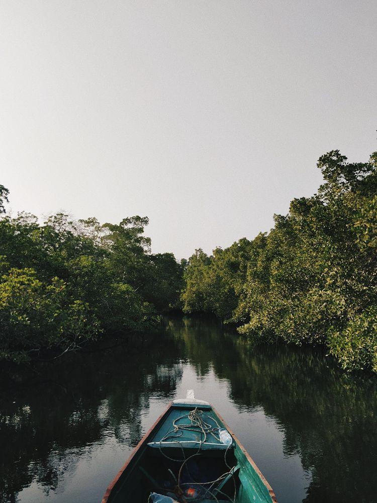 La mangrove aux Antilles