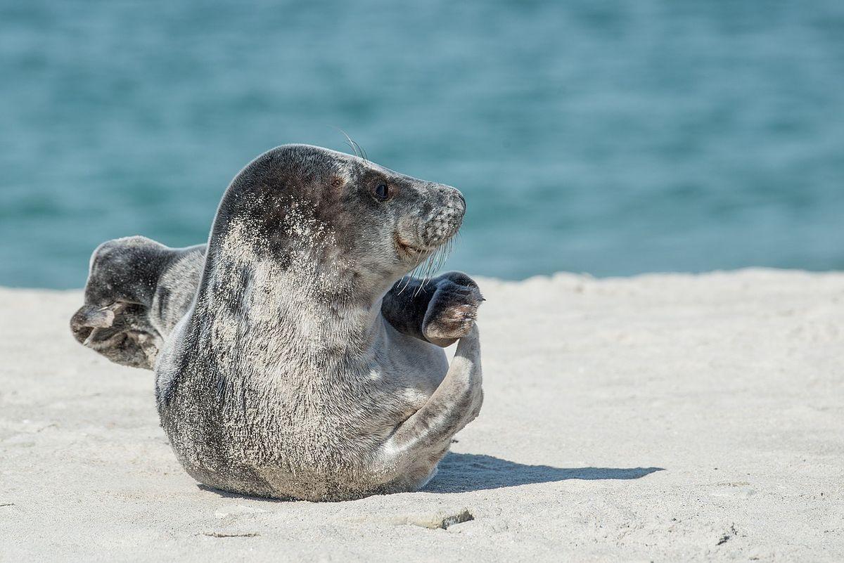 Phoque gris en Bretagne