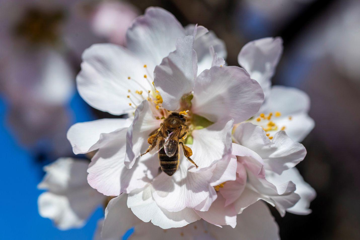 Espanjassa kevät on aikaisessa, joten mehiläinen pääsi jo keruupuuhiin Murciassa Espanjassa. Ilmastonmuutos on yksi tekijöistä, jotka vähentävät hyönteisiä.