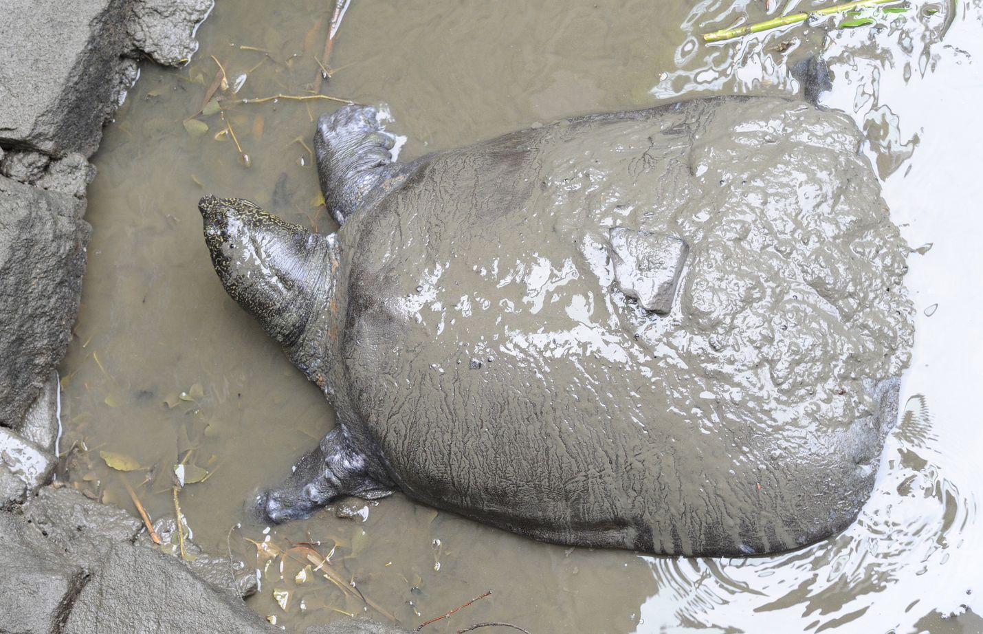 Viikonloppuna kuollut lajinsa viimeinen tiedetty naaraskilpikonna ryömi mudassa Suzhoun eläintarhassa toukokuussa 2015 otetussa kuvassa.