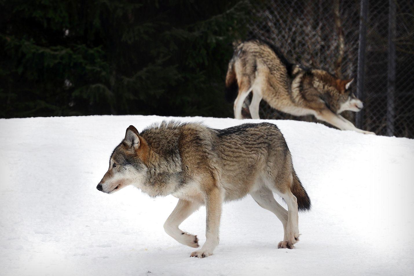 Ihmiset ja sudet voivat kohdata entistä useammin, kun suurin osa Suomen susikannasta on siirtynyt idästä tiheämmin asuttuihin maan länsiosiin. Tämä kaksikko on jo tottunut katseisiin Ähtärin eläinpuistossa.