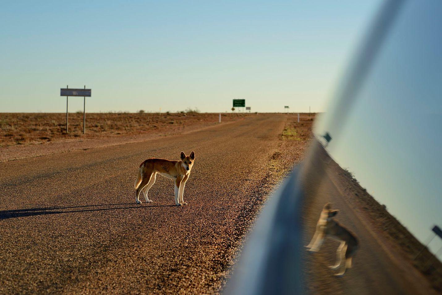 Dingot viihtyvät enimmäkseen omissa oloissaan, mutta tämän vuoden aikana Australiassa on ollut jo kolme dingojen hyökkäystä. Niissä kahdessa on ollut osallisena lapsi.