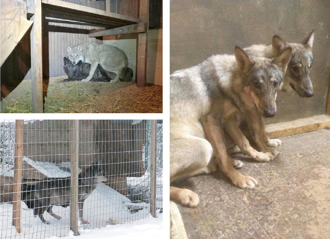Ylhäällä vasemmalla kuvassa Orimattilasta pihasaunasta löydetyt sudet. Pihalla häkissä Lopen tilalta löydetty eläin. Oikealla kuvassa Karkkilasta löydetty susi ja sen sisarus, joka oli lopetettu ennen poliisin kotietsintää.