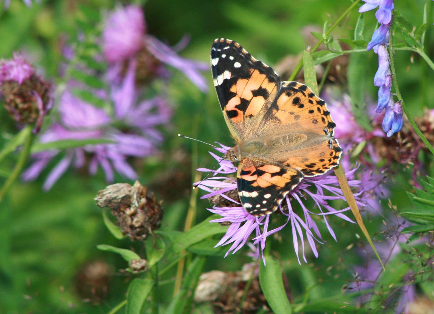 Ohdakeperhosia ja muutamia muita samansävyisiä perhosia näkyy vielä runsaasti.