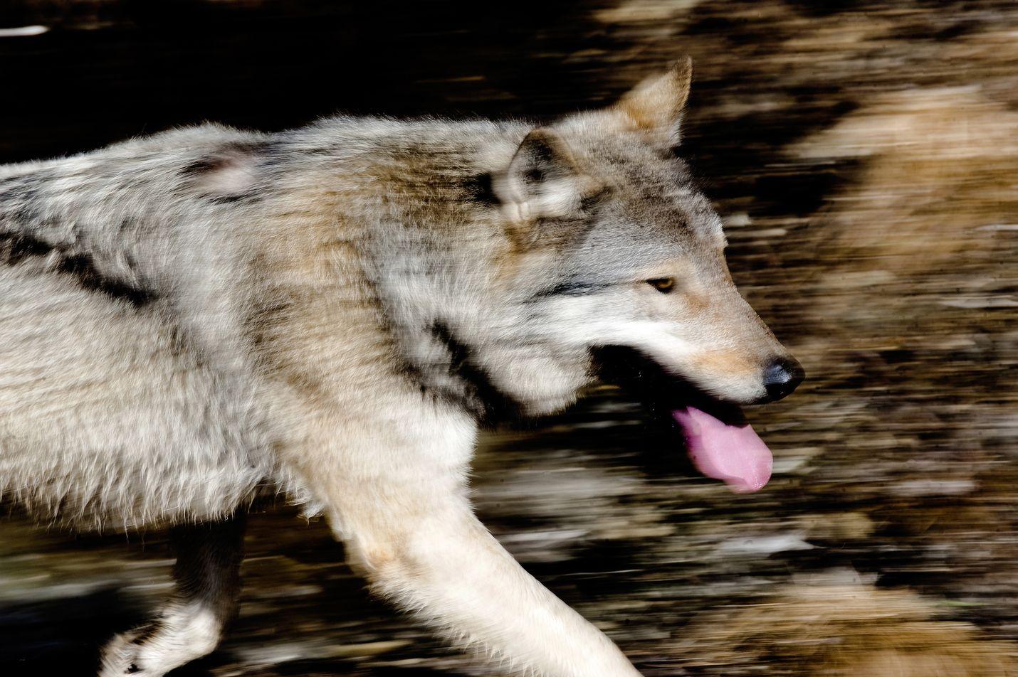 Kuusitoista sutta kantaa tällä hetkellä Luken satelliittipantaa. Kuvan susi seikkailee villin luonnon sijaan Ranuan eläinpuistossa.