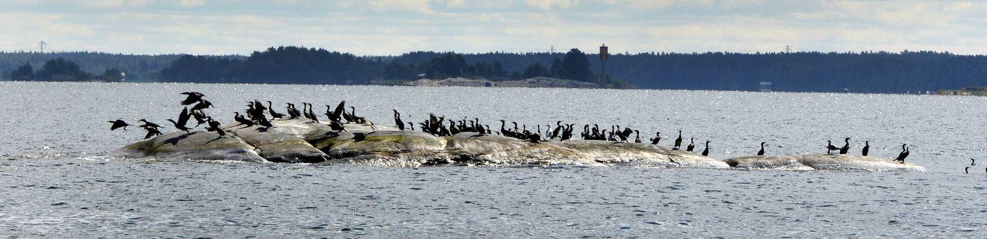 Kirjoittaja kysyy, merimetsotko ovat saarten pilaajia Petäjästen louhintojen ja Järviluodon merentäytön rinnalla.