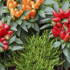 Vehreyttä ja väriä pihalle voi tuoda variksenmarjalla ja  koristepaprikalla.
