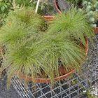 Nuokkuharjasluikka tuo puutarhaan lisää vihreyttä. Aamukasteen ja sateen jälkeen pisarat jäävät kuin helmiksi kasvin korsille.