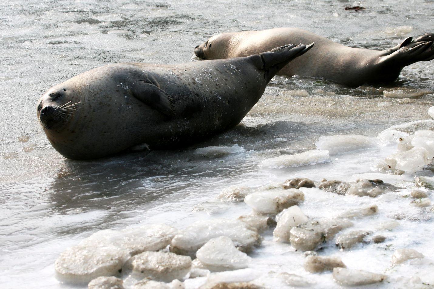 Jää on pohjoisille hylkeille elinehto. Kuvassa täplähylkeet paistattelevat päivää jäällä Kiinassa.
