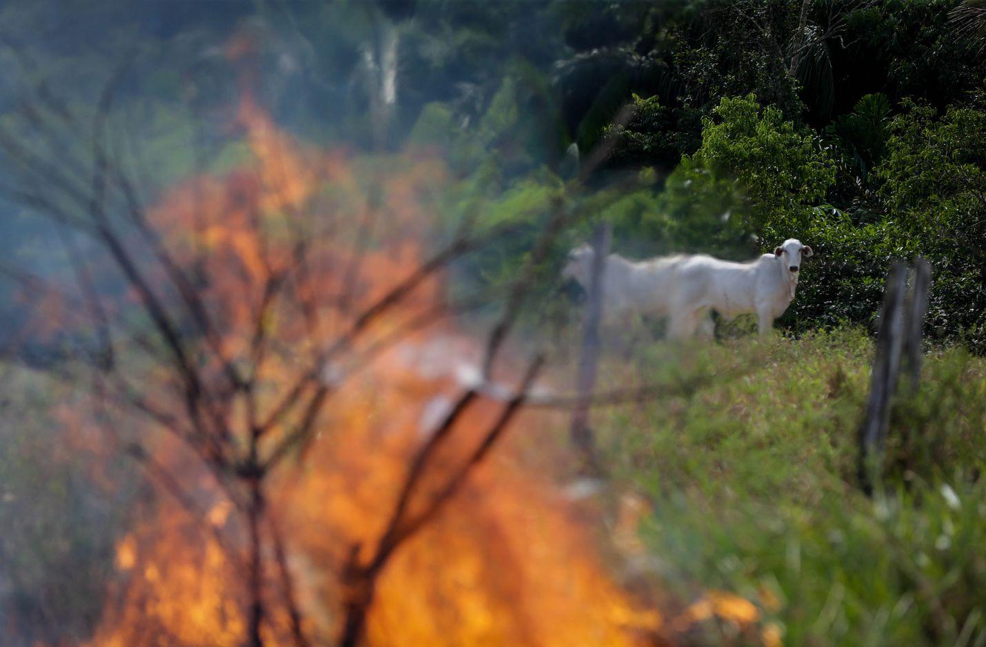 Lehmät katselevat kun metsä palaa Manicoressa, Brasilian Amazonasin osavaltiossa syyskuun alussa.