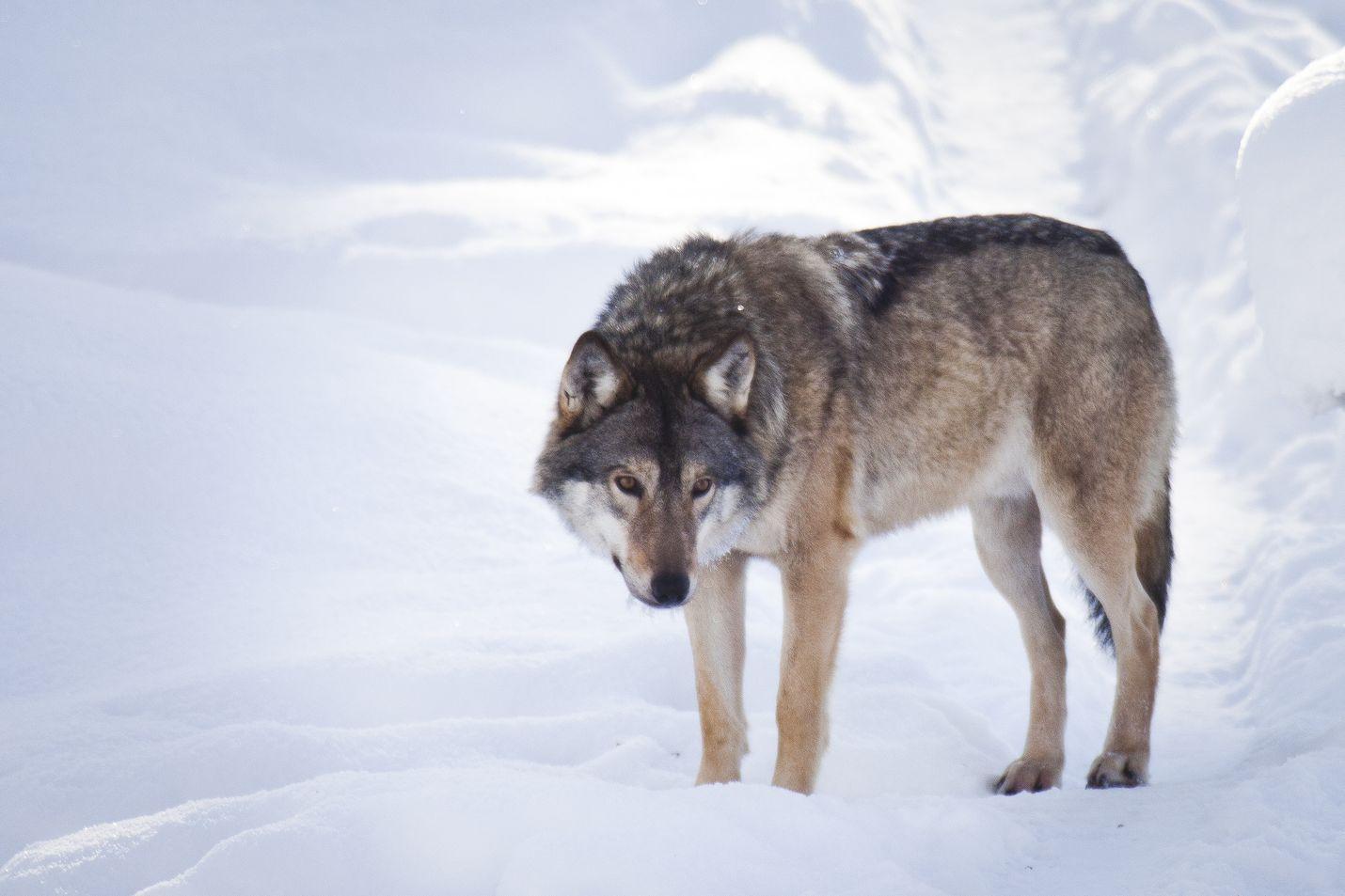 Rajavartiolaitos tutkii epäilyjä luonnonvaraisiin susiin kohdistuneista metsästysrikoksista Kuhmossa. Tämä susi on sen sijaan kuvattu Ranuan eläinpuistossa.