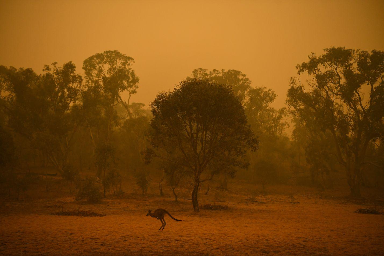 Kenguru kuvattiin savun peittämällä pensasalueella Australian pääkaupungissa Canberrassa sunnuntaiaamuna. Arvioiden mukaan kuukausien paloissa on kuollut ainakin 500 miljoonaa lintua, nisäkästä ja matelijaa.