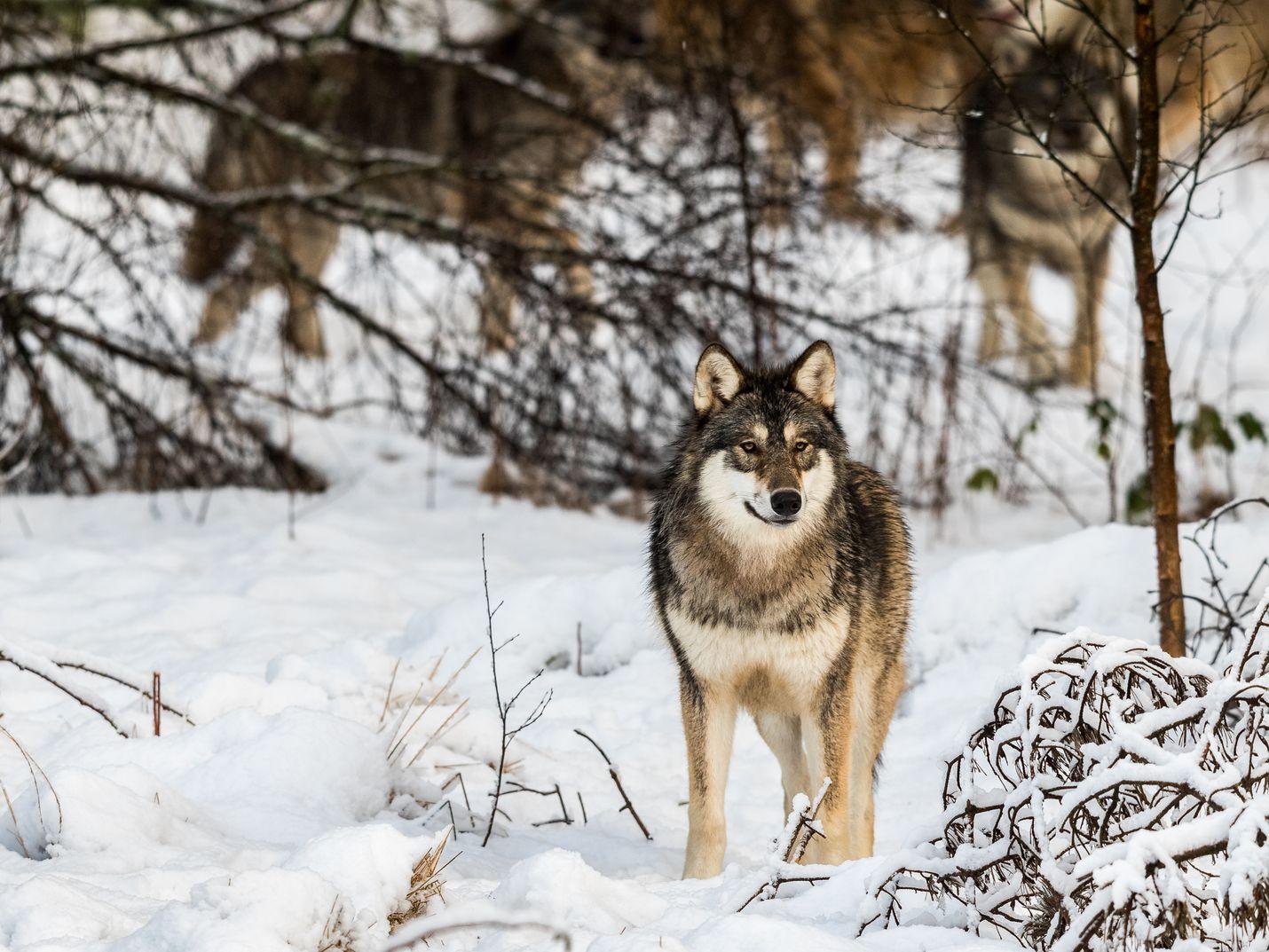 Ruotsin ja Norjan eli Skandinavian susikantaa uhkaa sisäsiittoisuus, ellei Suomesta pääse alueelle riittävästi susia. Susikannan suotuisan suojelun tasoakin voitaisiin arvioida useamman maan alueella.