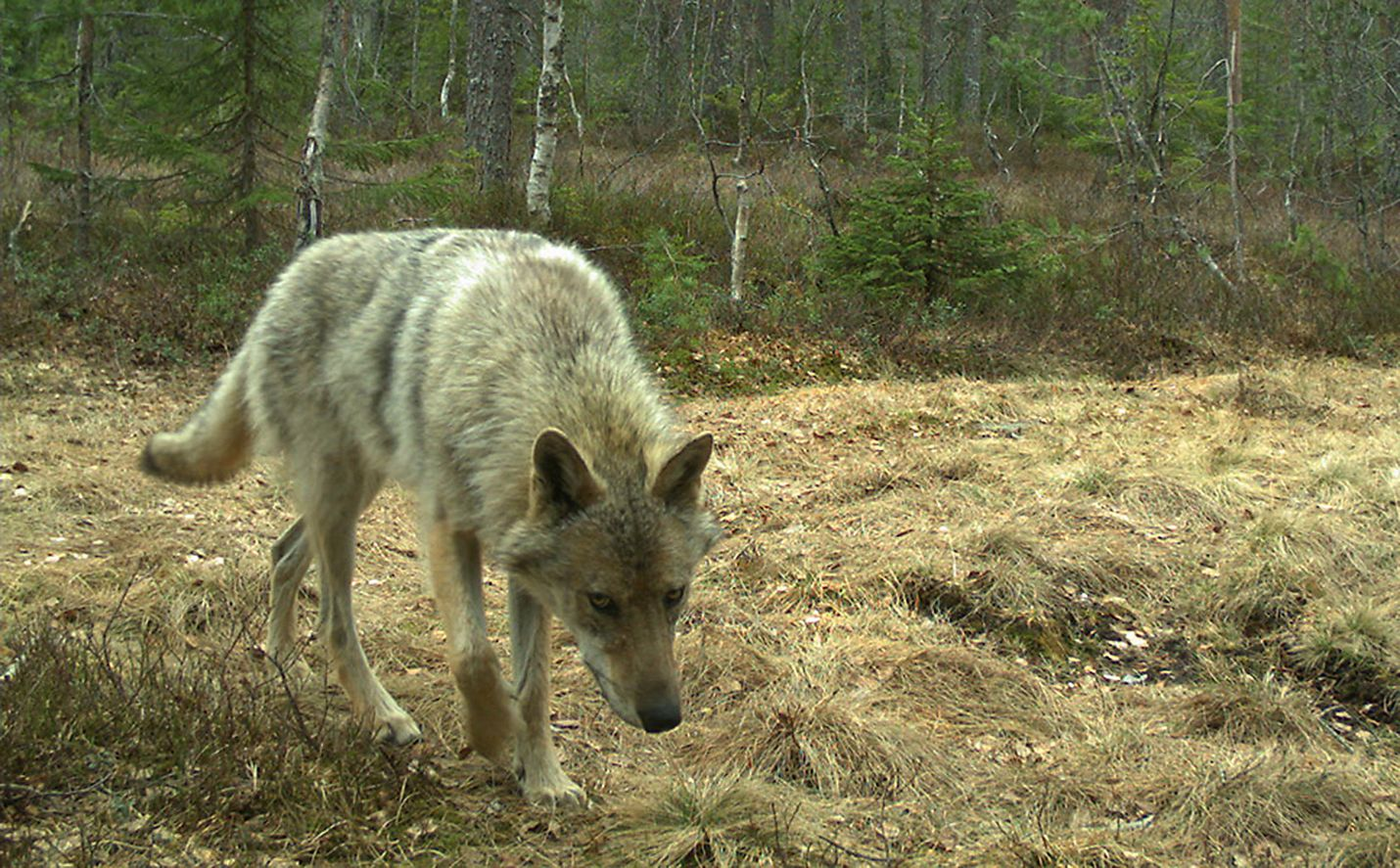 Norjan ja Ruotsin susikanta on tutkijoiden mukaan saanut alkunsa Suomesta ja Venäjältä vaeltaneista susista. Norjassa velloo myös siirtoistutushuhuja Suomen tapaan. Tämä susi tallentui norjalaisen tutkimusinstituutin riistakameraan toukokuussa.