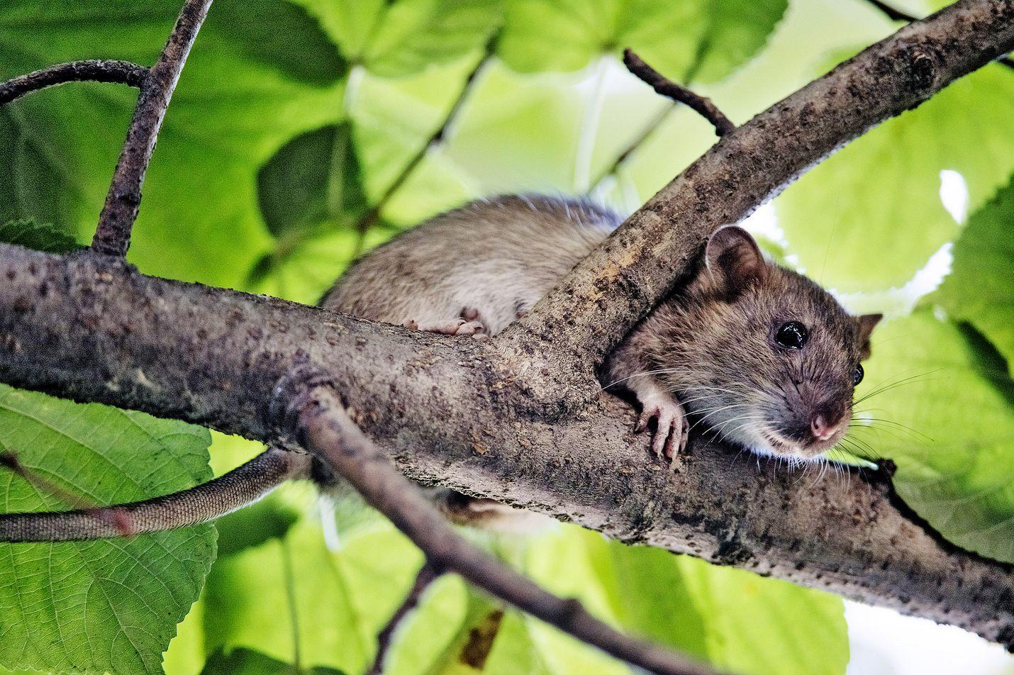 Rottia saattaa keväällä ja kesällä olla huomattavasti enemmän kuin yleensä. Jyrsijöiden määrään ja liikkeisiin vaikuttaa leudon talven ohella koronavirustilanne sekä sen kehittyminen. Tuhoja on odotettavissa myös paikoissa, joissa niiltä on yleensä vältytty.
