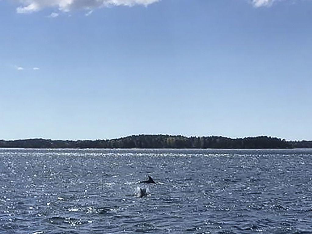 Kemiönsaaren edustalla uiskentelee parhaillaan kolmen pullokuonodelfiinin parvi. Kyseessä on erittäin harvinainen havainto, sillä yleensä delfiinit viihtyvät valtamerissä.