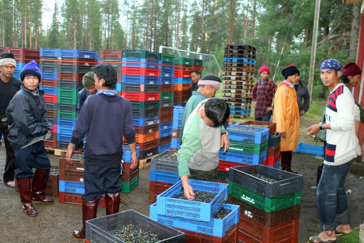 Ulkomaalaiset - pääosin thaimaalaiset - poimivat Suomessa kerätyistä luonnonmarjoista viime vuonna noin 92 prosenttia.