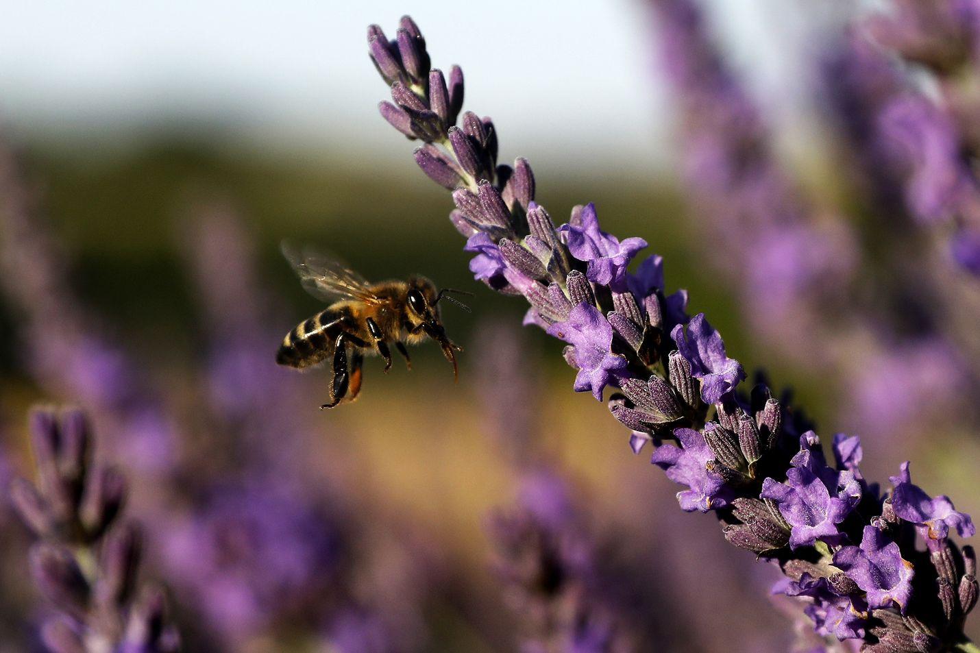 Mehiläinen kuvattiin laventelipellolla Etelä-Ranskassa kesäkuun lopussa.