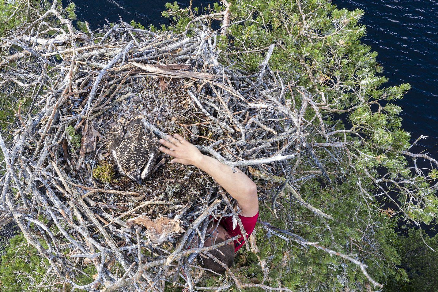 Lähes 20 metriin kiipeävä Otso Karhumäki nappaa kalasääsken poikaset käsillä tunnustelemalla, koska latvassa olevaan pesään ei näe sen alapuolelta.