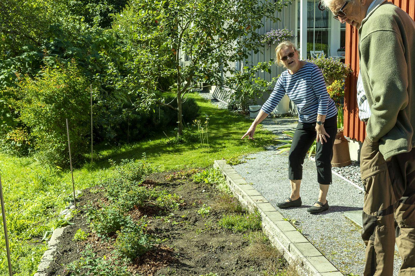Hilkka ja Tapani Ansaharju istuttivat kuihtuneen pensasrivistön tilalle muun muassa keltasauramoa, ketohanhikkia, mäkitervakkoa sekä tunturineilikkaa. –Pari kesää tätä ehkä joutuu kitkemään, mutta sitten kasvit peittävät maan, he suunnittelevat.