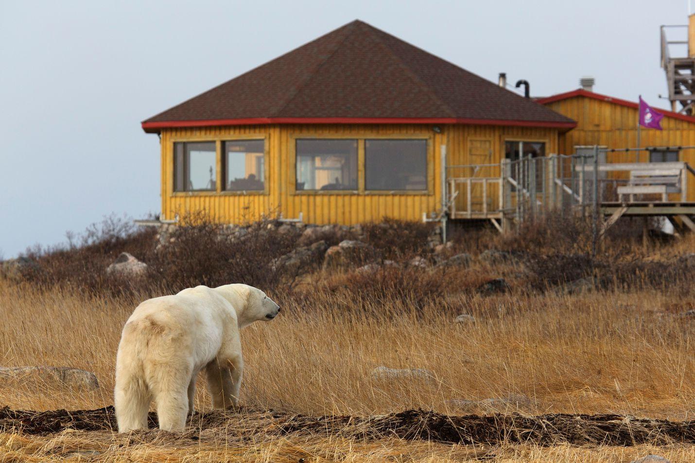 Jääkarhu on ei-toivottu vierailija ihmisasutusten lähellä Kanadan pohjoisessa Manitoban provinssissa. Kuva on Seal River -perinnemajoituspaikan läheltä lokakuulta 2016.