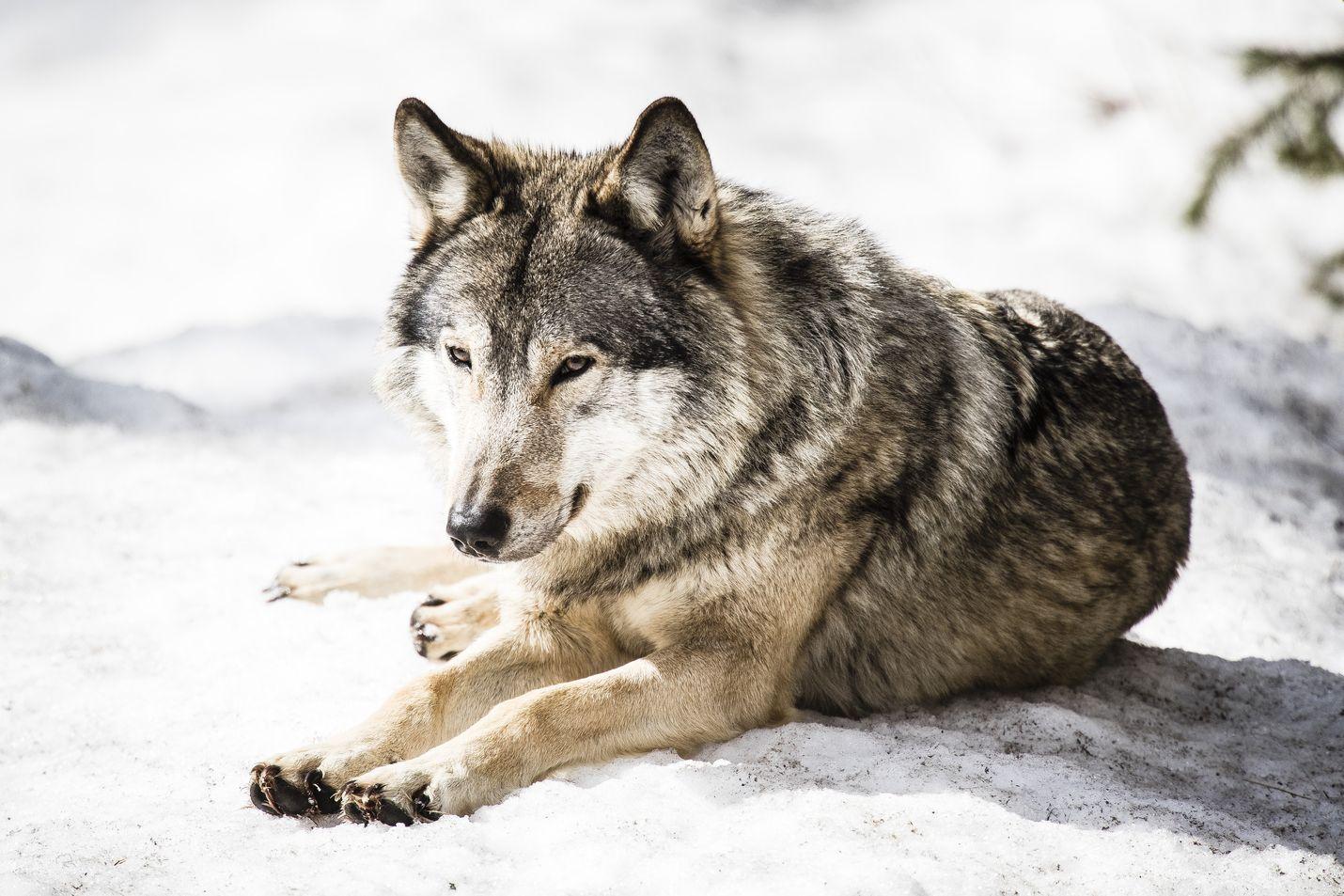 Susi herätti taas odotetusti kiivasta keskustelua eduskunnassa. Nyt kyseessä oli muun muassa kannanhoidollista metsästystä vaativa kansalaisaloite. Tämä susi on kuvattu Ranuan eläinpuistossa.