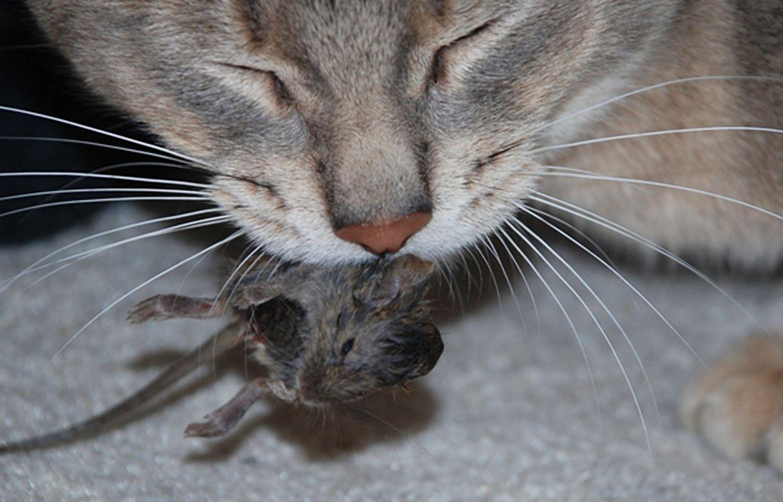 Alfakloraloosi päätyy kissojen elimistöön yleensä myrkkyä syöneen jyrsijän mukana. Myrkytystapauksia tulee vuodessa tietoon vähintään kymmeniä, mutta raportoimatta jääneiden tapausten määrää ei tiedetä.