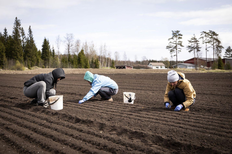 Viime vuoden toukokuussa Vihannes Vinnikaisen tilalla Forssassa työskenteli ukrainalaisia kausityöntekijöitä. Natalia Kobizkaja (musta takki), Anna Ivanova (keltainen takki) ja Nadezhda Kovtsunjak (sininen takki) istuttivat sipulia.