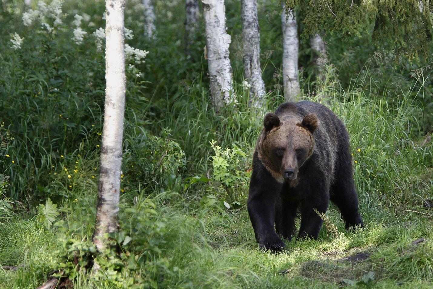 Suomessa arvioidaan olevan 2670–2800 karhua, mikä noin 12 prosenttia enemmän kuin viime vuonna. Kanta on vahvistunut selvimmin Itä-Suomessa, kertoo maa- ja metsätalousministeriö.