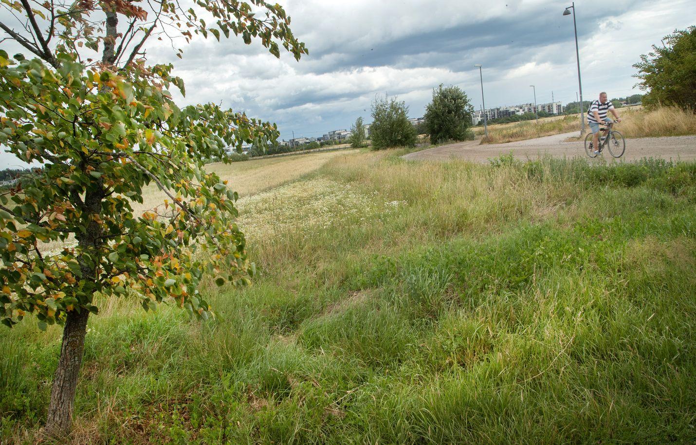 Kuivuus on kellastuttanut ruohikkoa Helsingin Torpparinmäellä. Tiistaina Helsinkiin tulleet sateet tulivat puille ja kasveille tarpeeseen.