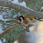 Tikli, tuuli pudottaa lunta puun oksilta. Kuvattu 9.1. Kuva: Jouko Aaltonen