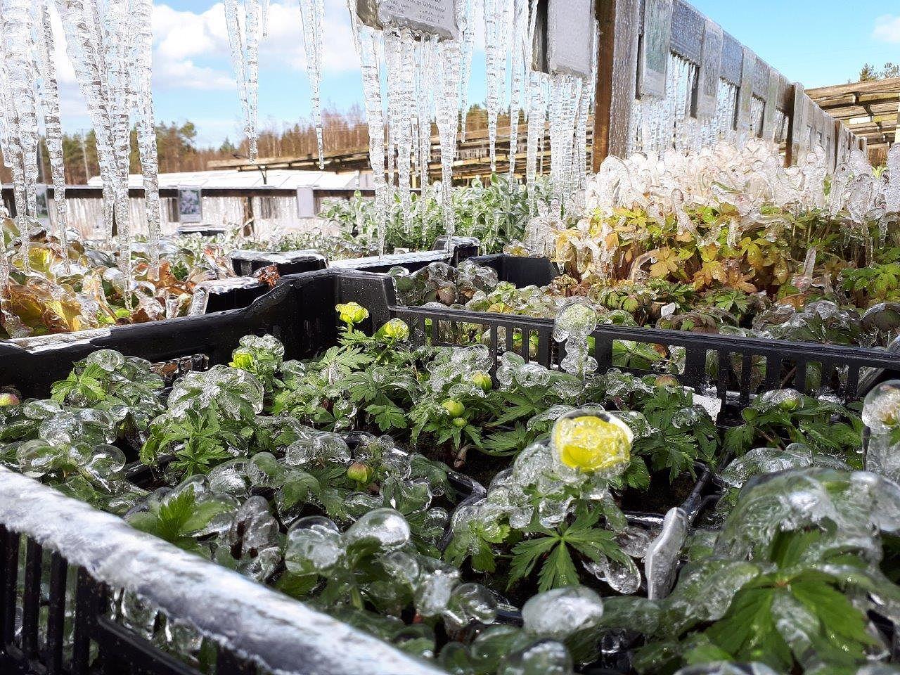 jääkukka kasvi