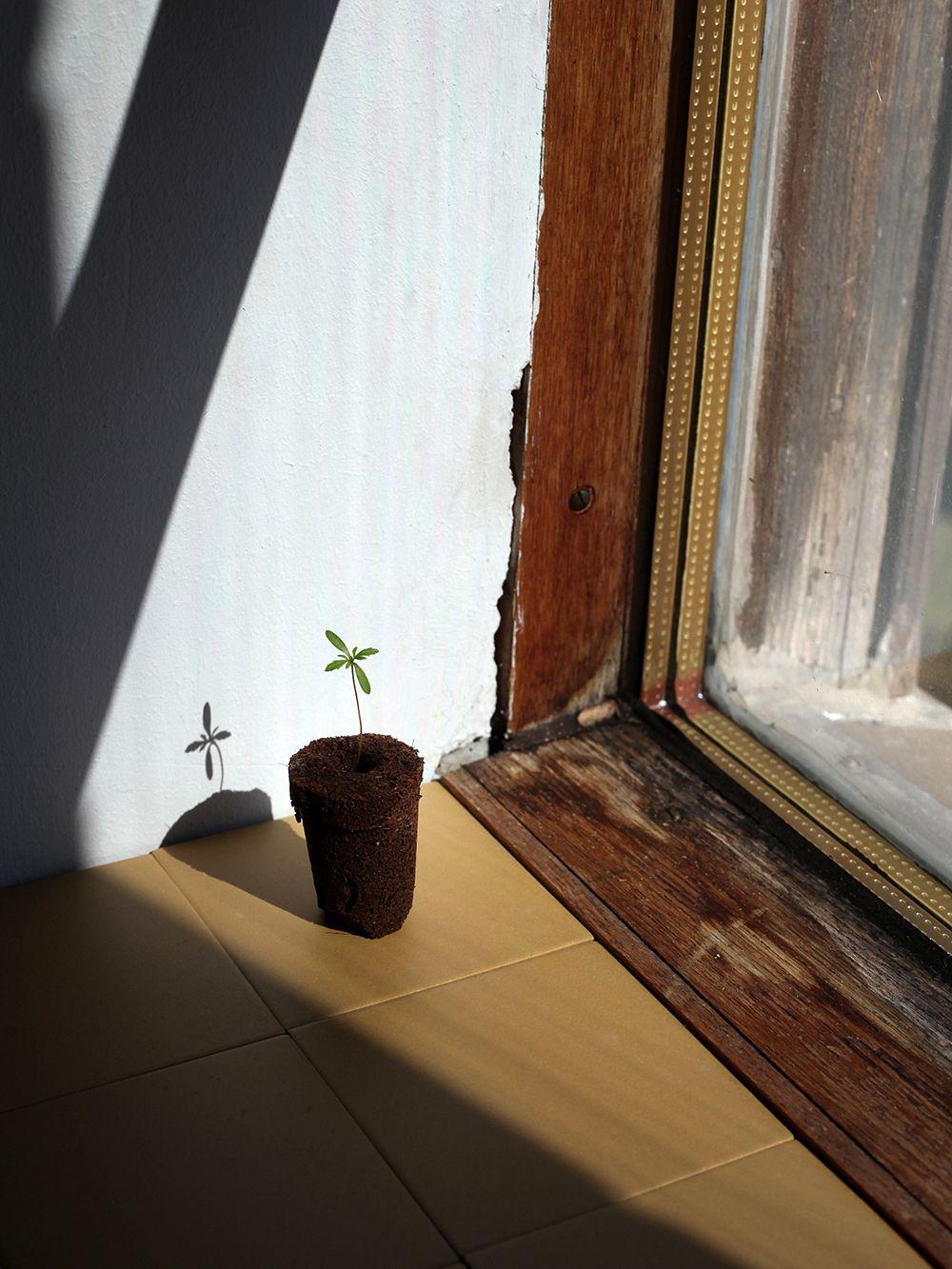 Pieni taimi ja multaa ikkunan äärellä