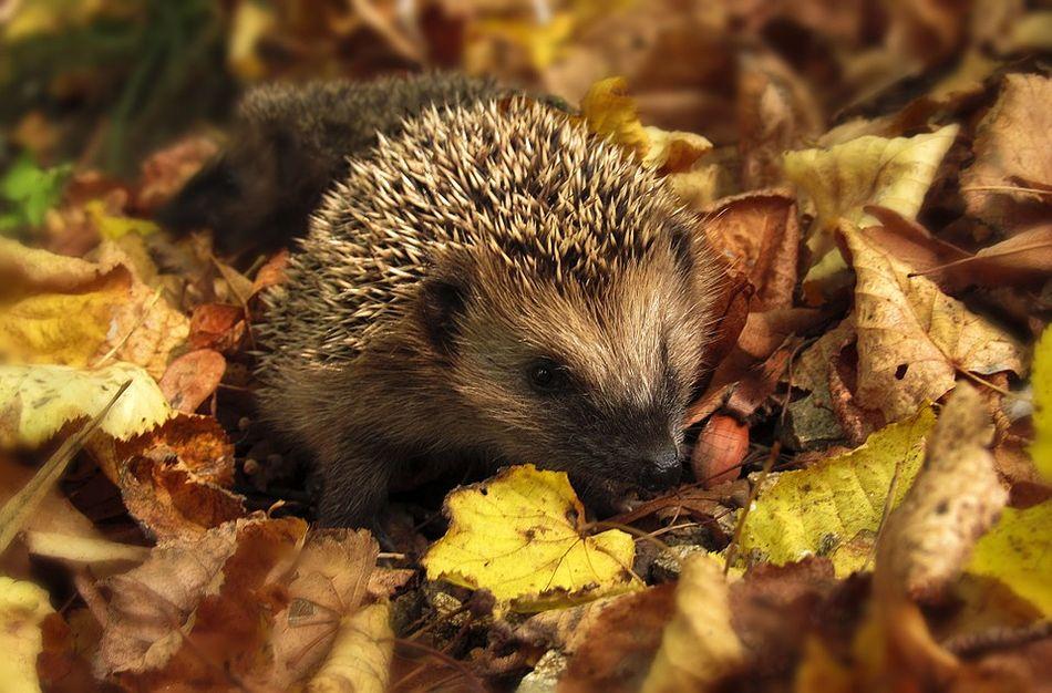 Winterschlaf: So helfen Sie Igeln und anderen Tieren