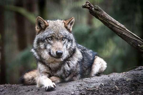 Ein Wolf im Wildpark Schwarze Berge