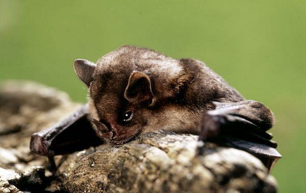 Eine Fledermaus, wie sie auch bald in Ihrem Fledermausnistkasten heimisch werden könnte (© Michel Gunther, WWF)