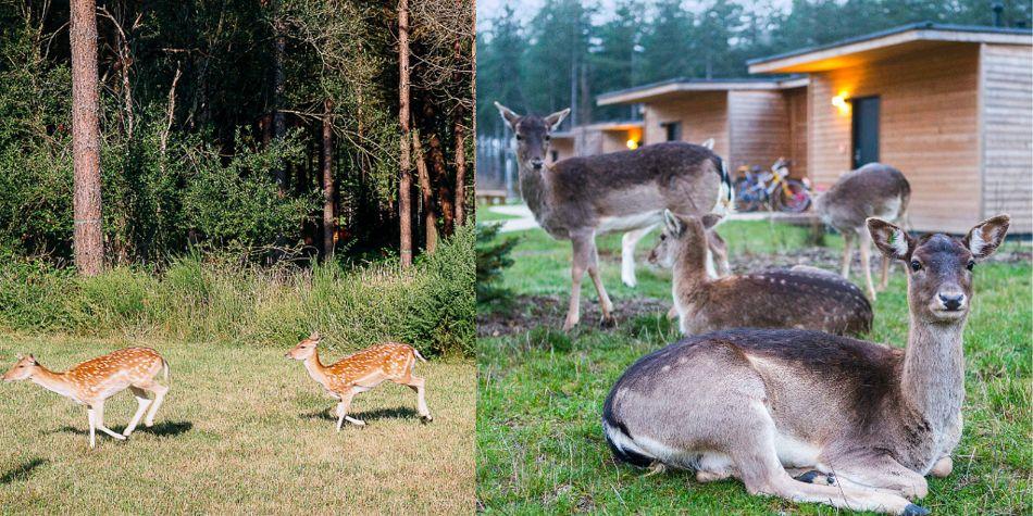 daims animaux Center Parcs