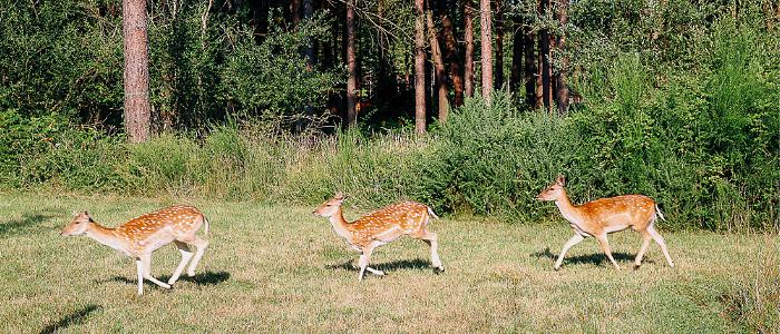 3 daims se promenant dans la forêt les uns après les autres
