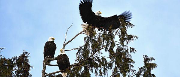 Trois aigles dans un arbre