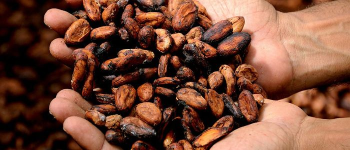 fèves de cacao dans une main