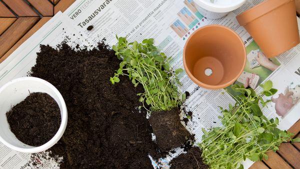 Taimia istutetaan uusiin ruukkuihin parvekkeella